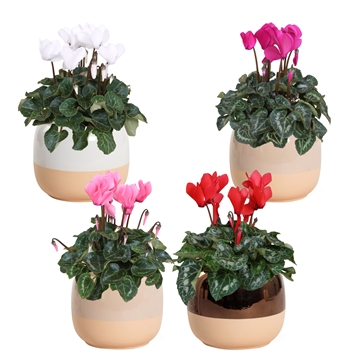 Collectie 'Winter Bliss' - Cyclamen in pot Isa