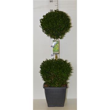 Buxus sempervirens duobol