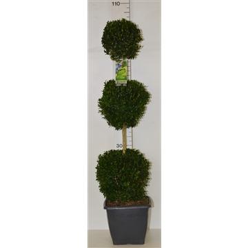 Buxus sempervirens triobol