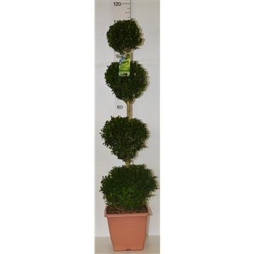 Buxus sempervirens quattrobol