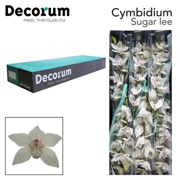 CYMB T Sugar lee Decorum
