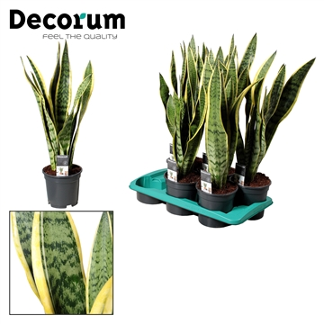 Sansevieria Laurentii (Decorum)