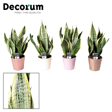 Collectie Moments - Sansevieria (Superba) in pot Coco (Decorum)