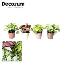 Collectie Moments - Syngonium mix in pot Coco (Decorum)
