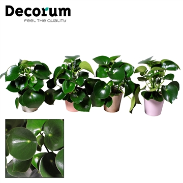 Collectie Moments - Peperomia Raindrop in pot Coco (Decorum)