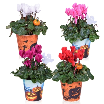 Cyclamen in Smartcup Halloween met Steker