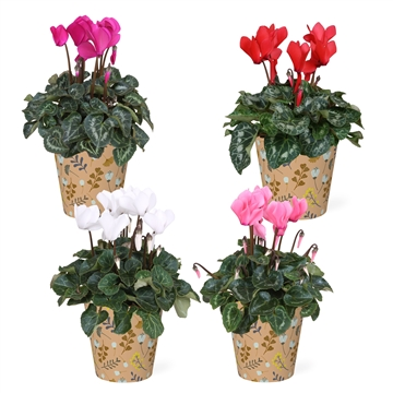 Cyclamen in Smartcup Autumn