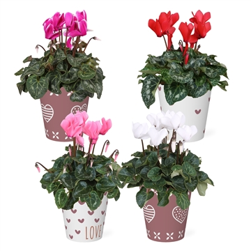Cyclamen in Smartcup (Valentijn)