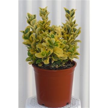 Euonymus japonicus Aurea