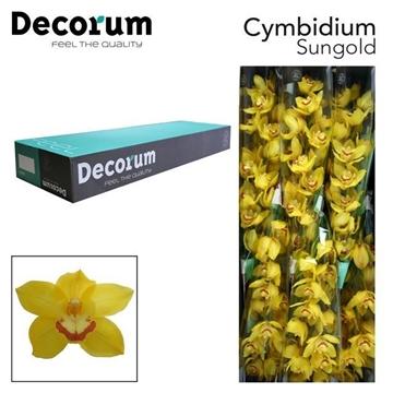 CYMB T Sungold Decorum
