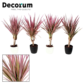 Dracaena Make-Upz Roze op stam in Sara pot (Decorum)