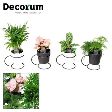 Keen on Green mix 7 cm in pot Femm (Decorum)