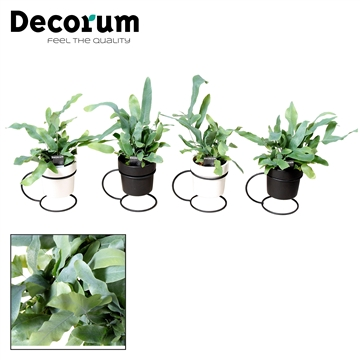 Phlebodium Blue Star in pot Femm (Decorum)