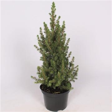 Picea Glauca Conica P19 60-70 cm. Potgekweekt!
