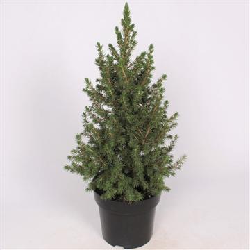 Picea Glauca Conica P21 60-70 cm. Potgekweekt!