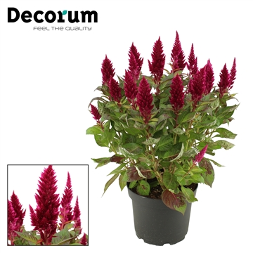 Celosia XXL Autumn purple