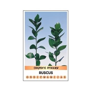 RUSCUS HYPOPHYLLUM CARTON 820 - 50cm -300st