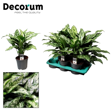 Aglaonema Romeo (Decorum)