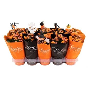 TiSento calandiva 12 cm oranje in oranje zwarte hoes met bijsteker