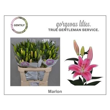 Li Or Marlon 3+
