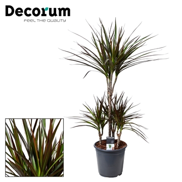 Dracaena Magenta Carrousel 45-15-15-15 (Decorum)