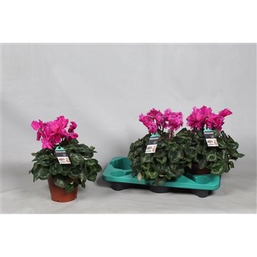 Cyclamen Halios Curly violet
