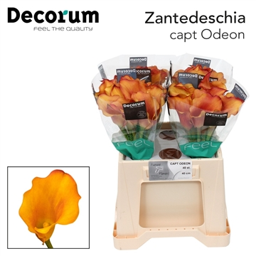 Zantedeschia Captain Odeon