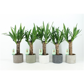 Yucca 25 cm hout 3+ kop in Classic Stone
