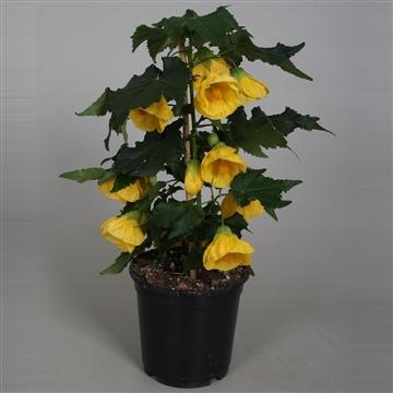 Abutilon geel