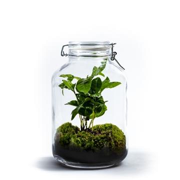 Ecosystem Large - Coffea Arabica