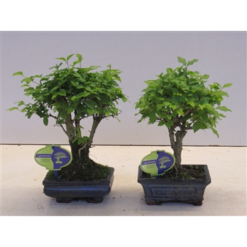 ligustrum chinensis, without drip tray