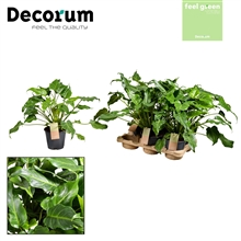 Philodendron Xanadu Feel Green (Decorum)