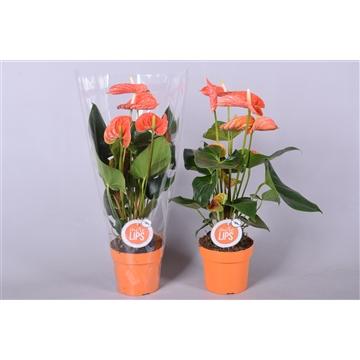 MoreLIPS® Anthurium Andreanum Madural Orange
