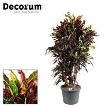 Croton Mammi vertakt (Decorum)