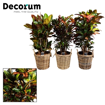 Croton vertakt mix in Rattan mand (Decorum)