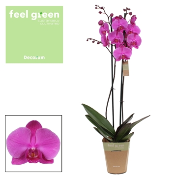 Phalaenopsis feel green2-Tak Evolution 60cm R2-3