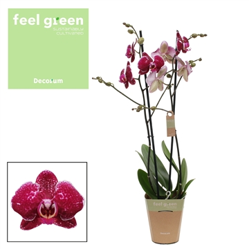 Phalaenopsis Feel Green 2-Tak Eduction 60cm R2-3