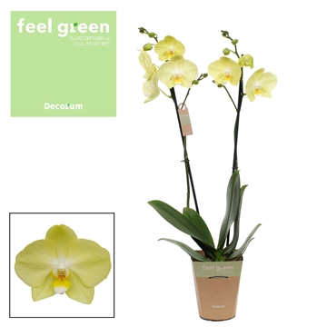 Phalaenopsis feel green 2-Tak Minion 60cm