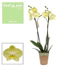 Phalaenopsis feel green 2-Tak Minion 60cm