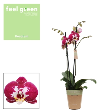 Phalaenopsis feel green 2-Tak Modulation 60cm R2-3