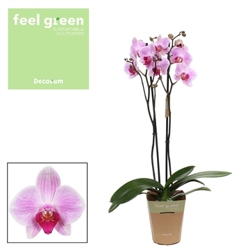 Phalaenopsis feel green 2-Tak Reflection 60cm R2-3