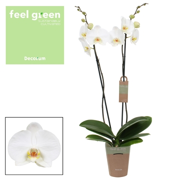 Phalaenopsis feel green 2-Tak Convention 75 R2-3