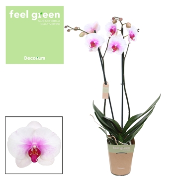 Phalaenopsis feel green 2-Tak Mountion 65cm R2-3
