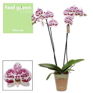 Phalaenopsis feel green 2-Tak Decoration 60 cm