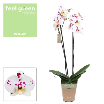 Phalaenopsis feel green 2-tak Kellion 60cm