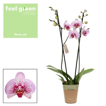 Phalaenopsis feel green 2-Tak Mansion 60cm R2-3
