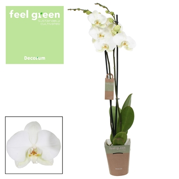Phalaenopsis feel green 2-Tak Donation 70