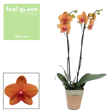 Phalaenopsis feel green 2-tak Egyption 60 cm R2-3