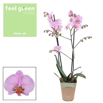Phalaenopsis feel green 2-Tak Formation 60cm R2-3