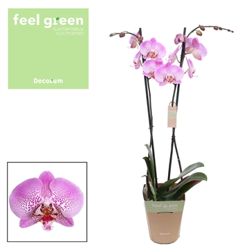 Phalaenopsis feel green 2-Tak Jillion 60cm R2-3